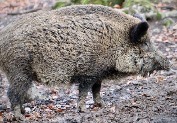 Lockstoff für Wildschweine